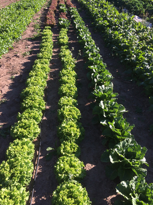 Lettuces from Kingsfisher Farm