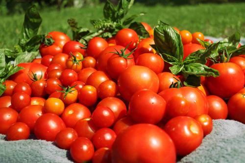 Tomatoes-web